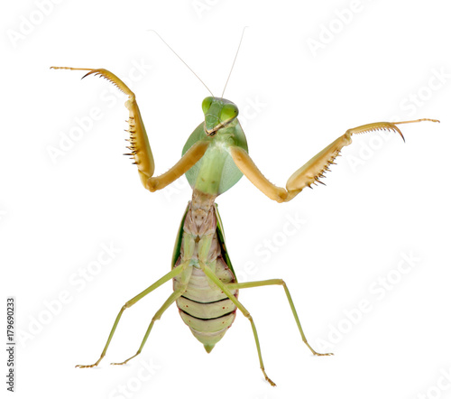 Fotografie, Obraz  Female Praying Mantis, Rhombodera Basalis, in front of white background