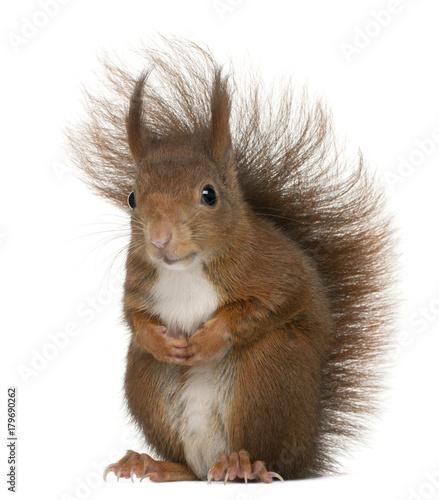 Fotografía  Eurasian red squirrel, Sciurus vulgaris, 4 years old, in front of white backgrou