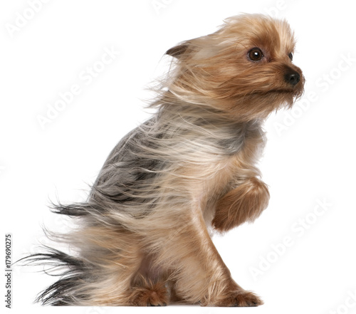 Yorkshire Terrier with hair in the wind, 1 year old, sitting in front of white b Fototapet