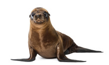 Young California Sea Lion, Zal...