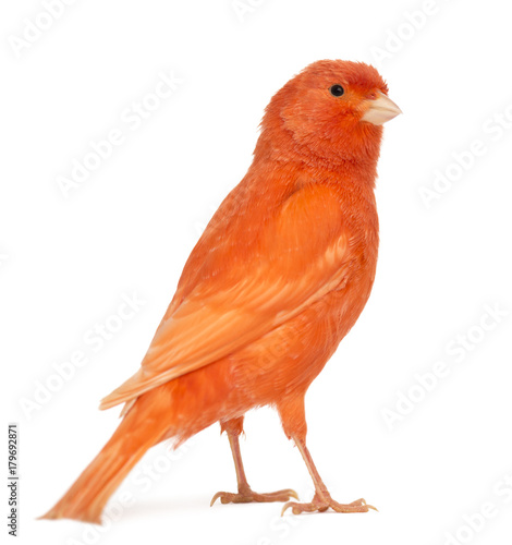 Ingelijste posters Vogel Red canary, Serinus canaria, against white background