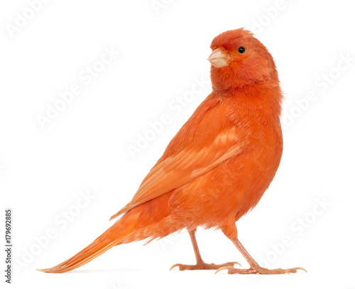 Photo  Red canary, Serinus canaria, against white background