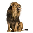 Lion sitting, roaring, Panthera Leo, 10 years old, isolated on white