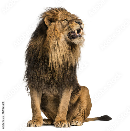 Poster de jardin Lion Lion sitting, roaring, Panthera Leo, 10 years old, isolated on white