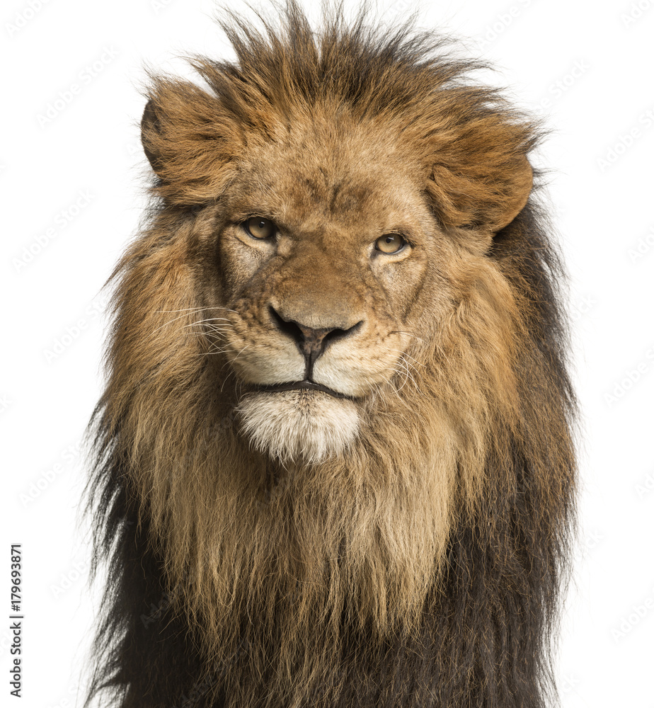 Close-up of a Lion facing, Panthera Leo, 10 years old, isolated on white