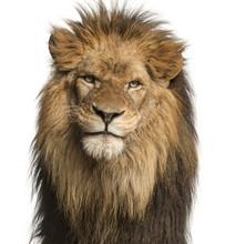 Close-up Of A Lion Facing, Pan...