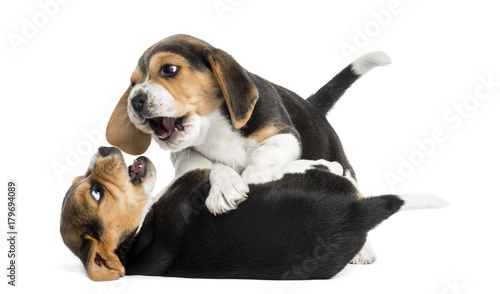 Two Beagle puppies playing together, isolated on white © Eric Isselée
