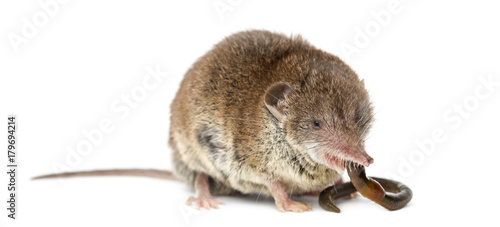 Fotografie, Obraz  White-toothed shrew eating an earthworm, isolated on white