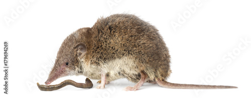 Fototapeta White-toothed shrew eating an earthworm, isolated on white