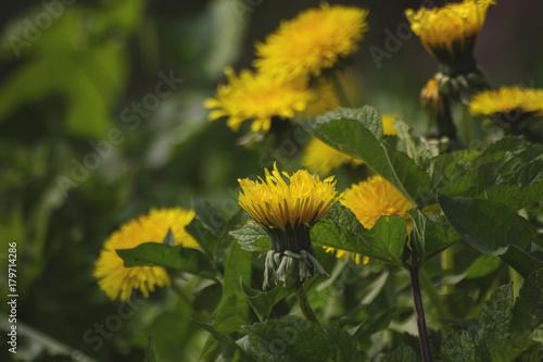 Fotografie, Obraz  dandelion flowers