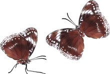 Two Brown Butterflies Isolated...