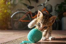 1 Month Year Old Thai Kitten Playing Blue Ball Of Yarn
