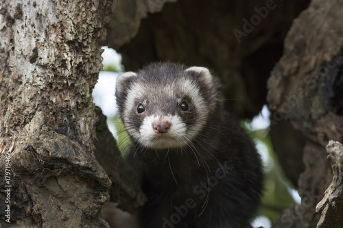 Valokuva  polecat close up portrait near log and grass