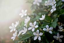 Gardenia Jasminoides Flowers A...