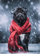 Black Pug Dog Gazing Sadly In A Winterstorm.