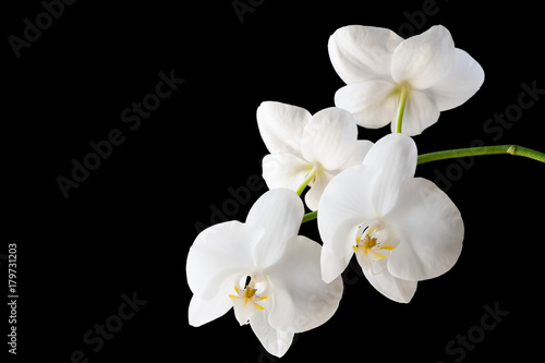 Branch of a blossoming white orchid on isolated black background. Selective focus