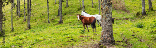 Fototapeta Cavalos no pasto. obraz