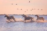 Piękne białe konie biegające po wodzie na tle latających flamingów w miękkim świetle zachodzącego słońca, Parc Regional de Camargue, Bouches-du-rhone, Prowansja - Alpy - Lazurowe Wybrzeże, południowa Francja - 179735229