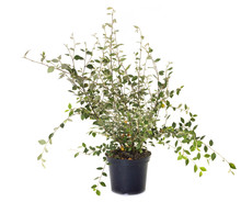 Cotoneaster In Pot