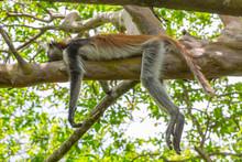 Wild Red Colobus Monkey Sleepi...