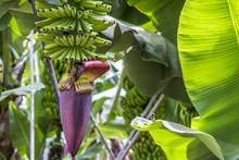 Grüne Bananen An Einer Banane...