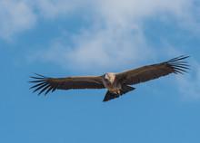 Andean Condor In Flight