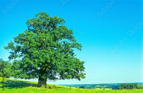Einzelner Baum (alte Eiche, Quercus robur) steht auf einem Hügel auf einer Wiese bei blauem Himmel im Sommer, Landschaft, Weite, Mecklenburg-Vorpommern, Deutschland, Europa