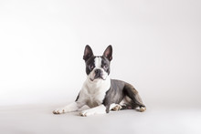 Alert Boston Terrier Lying Wat...