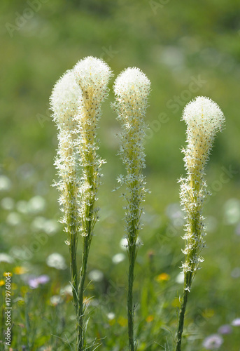 Fotografie, Obraz  Focus Stacked Image of Bear Grass