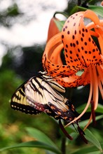 Butterfly On Tiger Lily.