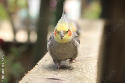 A cockatiel bird running straight towards the camera Tapéta, Fotótapéta