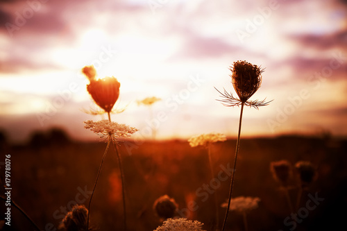 Field of Queen Anne's Lace, gone to seed, at sunset, meadow wildflowers Canvas Print