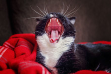 Black And White Tuxedo Cat  Yawning, Focus On Nose And Top Teeth.