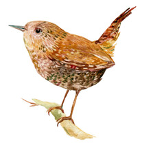 Wren Bird Illustration Waterco...