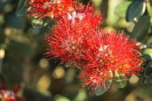 Close Up Image Of Red Pohutuka...