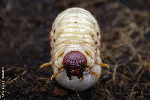Image of grub worms, Coconut rhinoceros beetle (Oryctes rhinoceros), Larva on the ground.