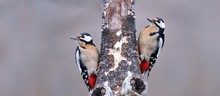 Two Great Spotted Woodpecker P...