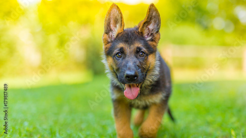 Fotomural German shepherd puppy playing outside in green grass