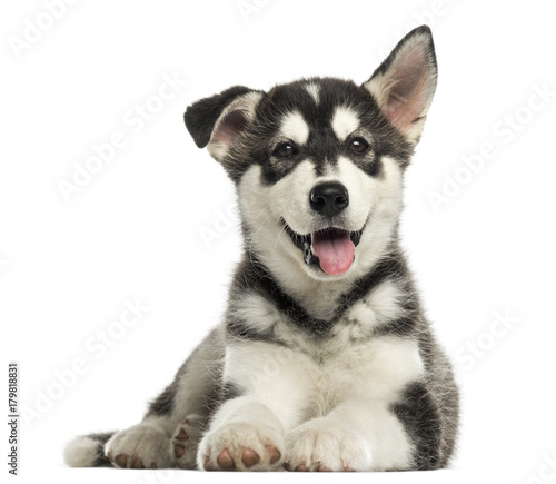 Poster Chien Husky malamute puppy lying, panting, isolated on white