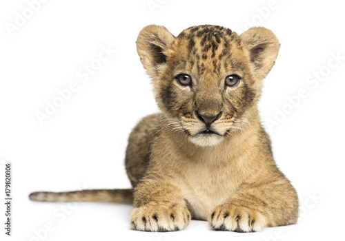 Lion cub lying, looking at the camera, 7 weeks old, isolated on Canvas Print