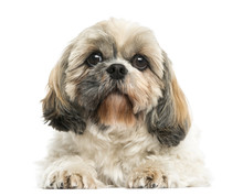 Front View Of A Shih Tzu Lying...