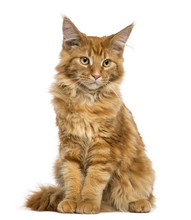 Maine Coon Kitten Sitting, Looking Down, 4 Months Old, Isolated
