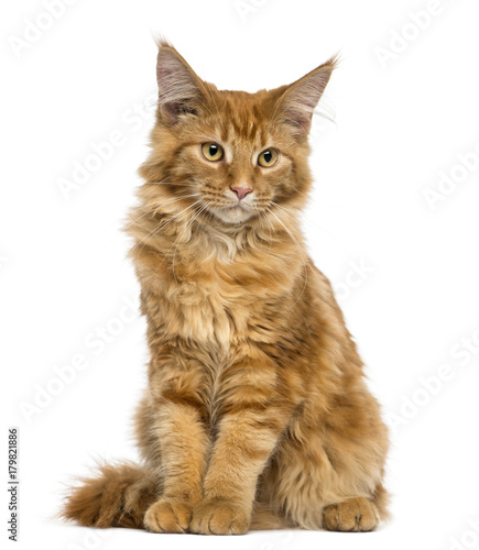 Fotografia Maine Coon kitten sitting, looking down, 4 months old, isolated