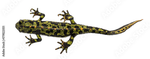Marbled newt viewed from up high, Triturus marmoratus, isolated