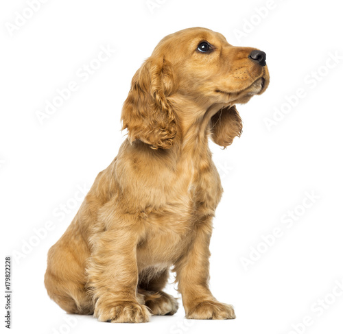 Cocker puppy sitting, looking up, isolated on white Wall mural