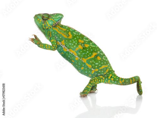 Yemen chameleon on hind legs - Chamaeleo calyptratus - isolated