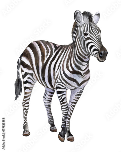 Poster Zebra Zebra isolated on white background. Watercolor. Illustration. Picture. Clip-Art. Close-up. Handmade