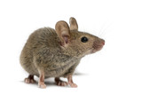 Fototapeta Zwierzęta - Wood mouse in front of a white background