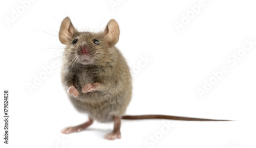 obraz PCV Wood mouse in front of a white background