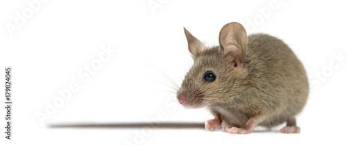 Fotografía  Wood mouse in front of a white background